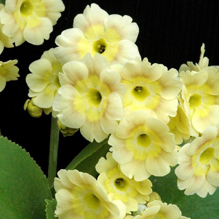 Section Auricula Auricule ou oreille-d'ours (Primula auricula)