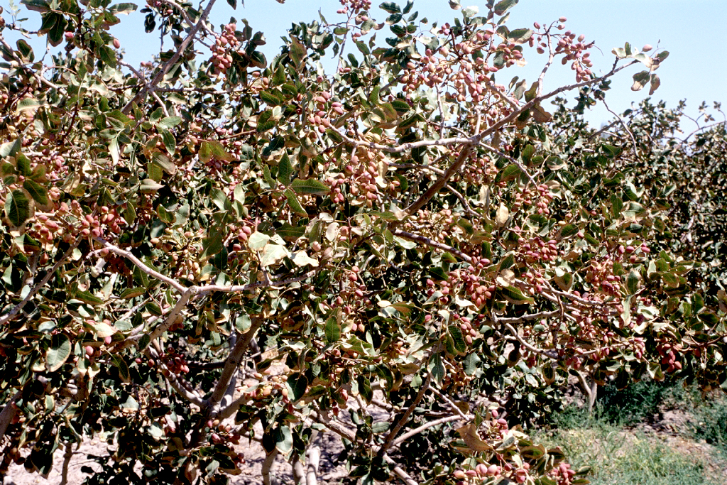 Pistachier planter et tailler ooreka for Plante 4 images 1 mot