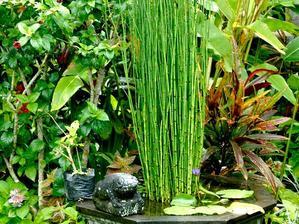 Culture et entretien de Equisetum hyemale