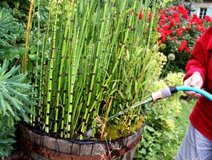 equisetum hyemale planter et cultiver ooreka. Black Bedroom Furniture Sets. Home Design Ideas