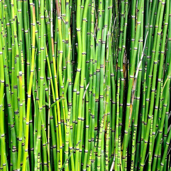 Tiges nues (les tiges secondaires sont atrophiées en écailles formant des anneaux autour de la tige principale) Prêle d'hiver (Equisetum hyemale)