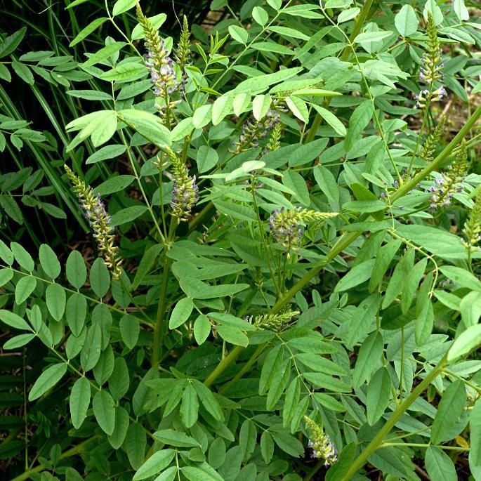 Espèce type Réglisse glabre, régalisse (Glycyrrhiza glabra, syn. G. hirsuta, G. echinata, G. officinalis…)