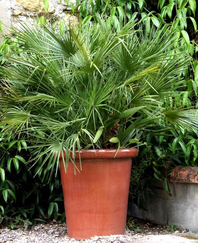 Trachycarpus planter et cultiver ooreka for Fausse plante palmier