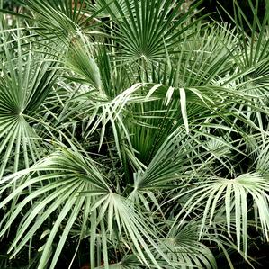 Culture et entretien du palmier chanvre