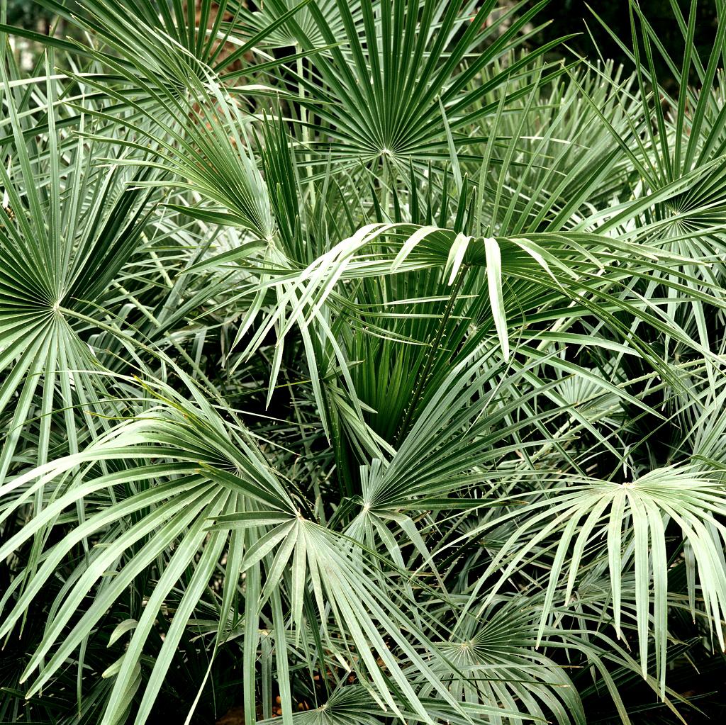 Trachycarpus planter et cultiver ooreka - Fruit qui pousse sur un palmier ...