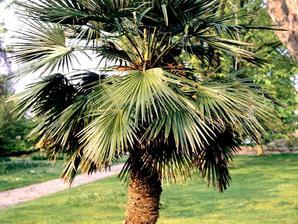 Semis et plantation du trachycarpus