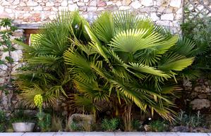 La multiplication des palmiers
