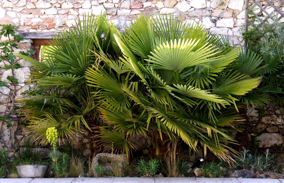 Trachycarpus planter et cultiver ooreka for Plante palmier