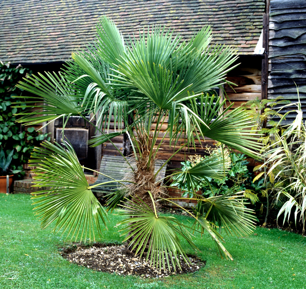 Trachycarpus planter et cultiver ooreka for Comment planter un palmier en pot