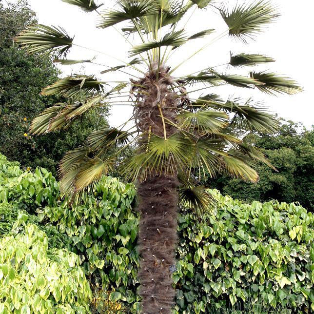 Trachycarpus wagnerianus (syn. Trachycarpus fortunei var. wagnerianus)