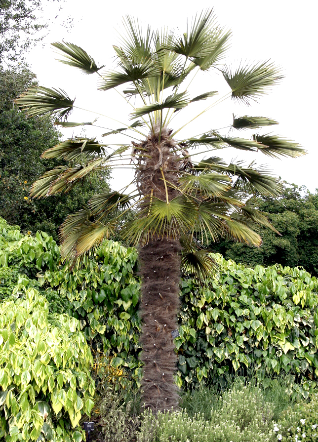 Trachycarpus planter et cultiver ooreka for Maladie palmier interieur