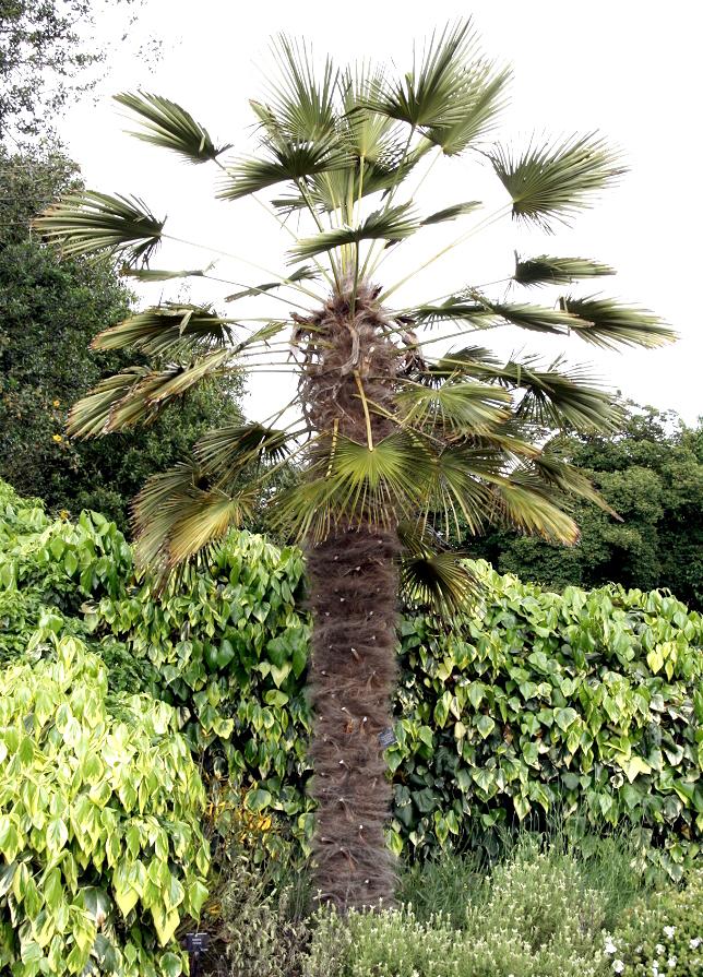 palmier a tige grele