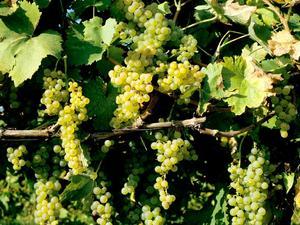 Plantation de la vigne de table