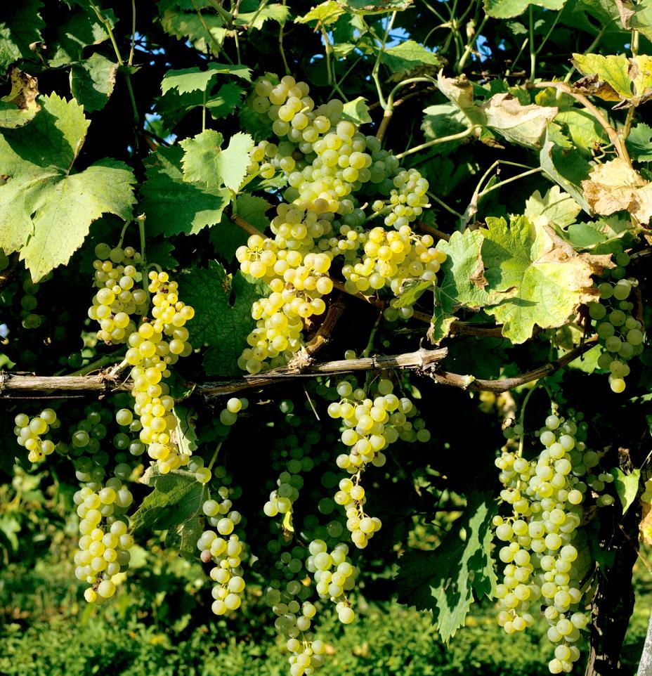 Vigne de table planter et tailler ooreka - Planter un pied de vigne ...