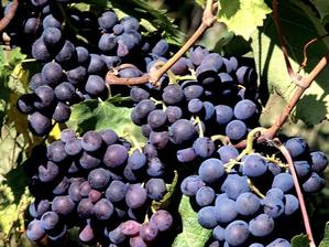 Multiplication de la vigne de table