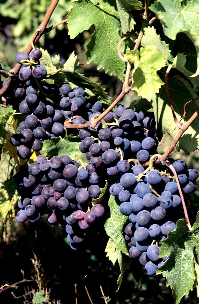 Vigne de table : planter et tailler - Ooreka