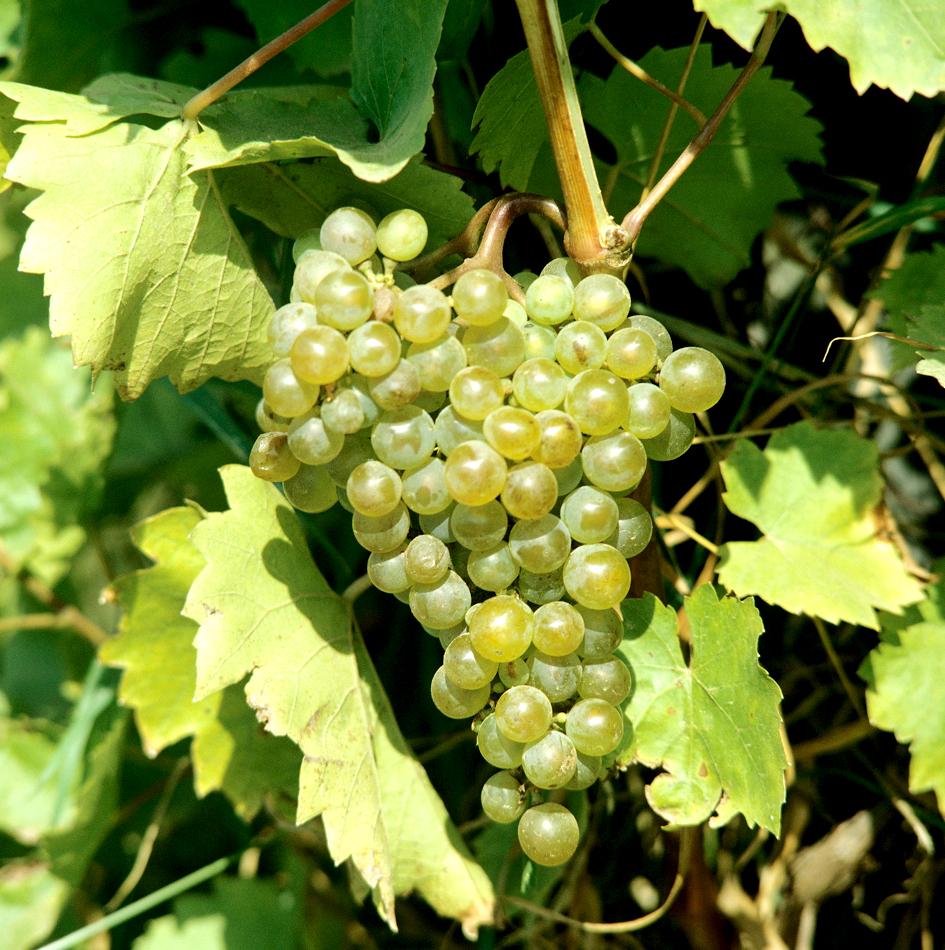 Vigne de table planter et tailler ooreka Planter vigne raisin de table