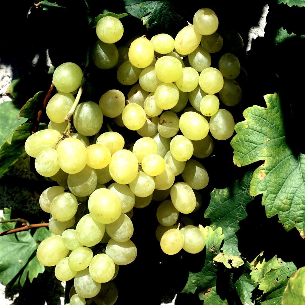Vigne de table planter et tailler ooreka - Maladie du raisin photo ...