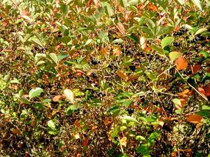 Multiplication de l'aronia