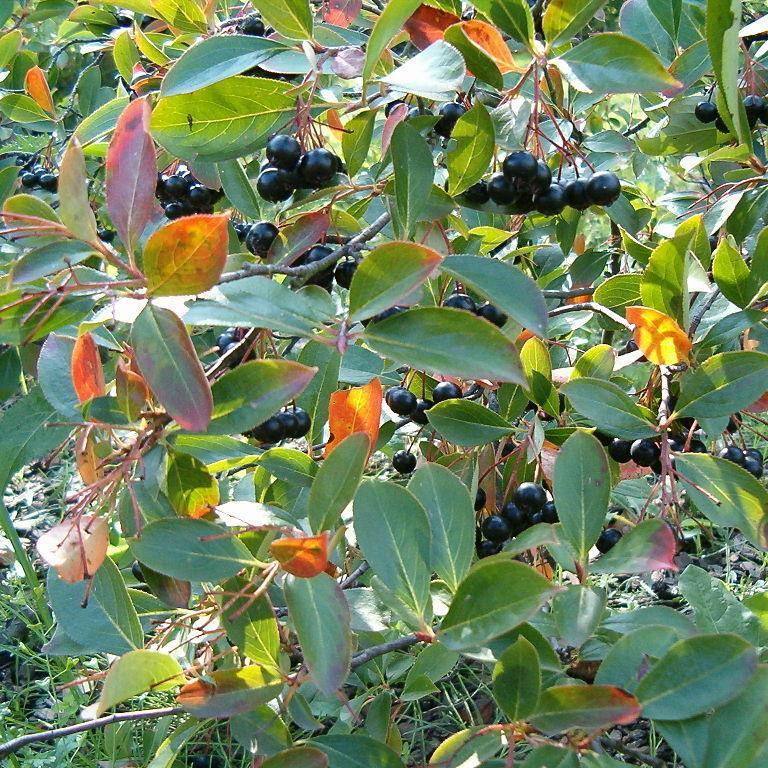 Espèces types Aronie noire (Aronia melanocarpa)