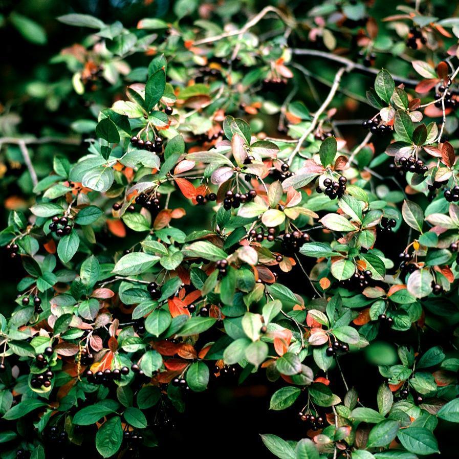 Hybrides et cultivars Aronia x prunifolia 'Nero'