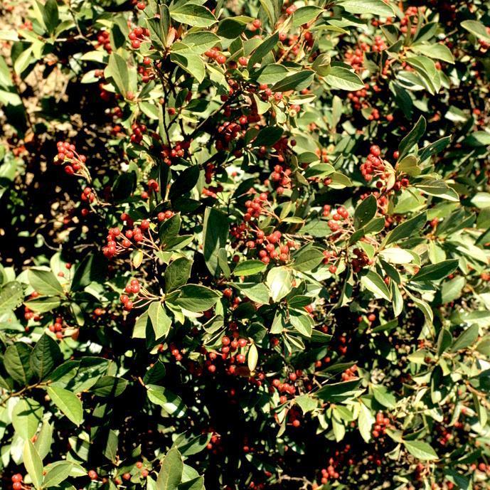 Hybrides et cultivars Aronia arbutifolia 'Brilliant'