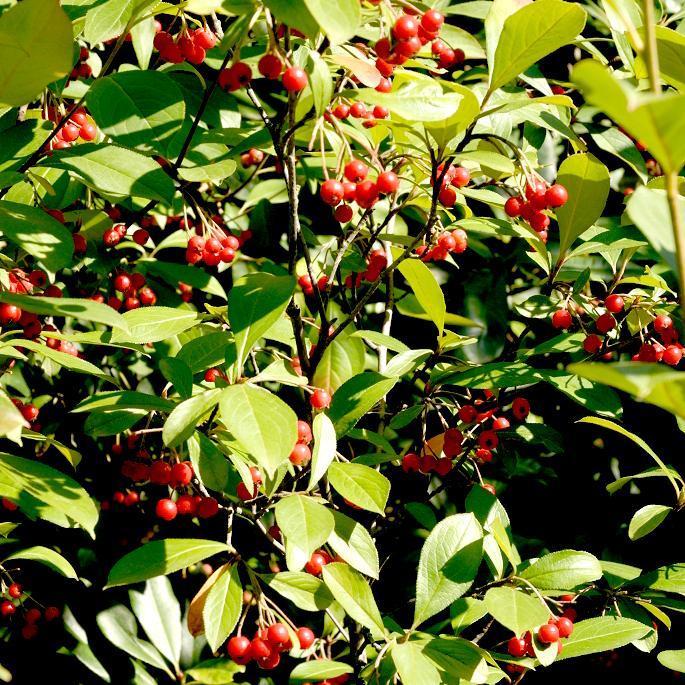 Espèces types Aronie rouge, aronie à feuilles d'arbousier (Aronia arbutifolia, syn. Photinia arbutifolia)