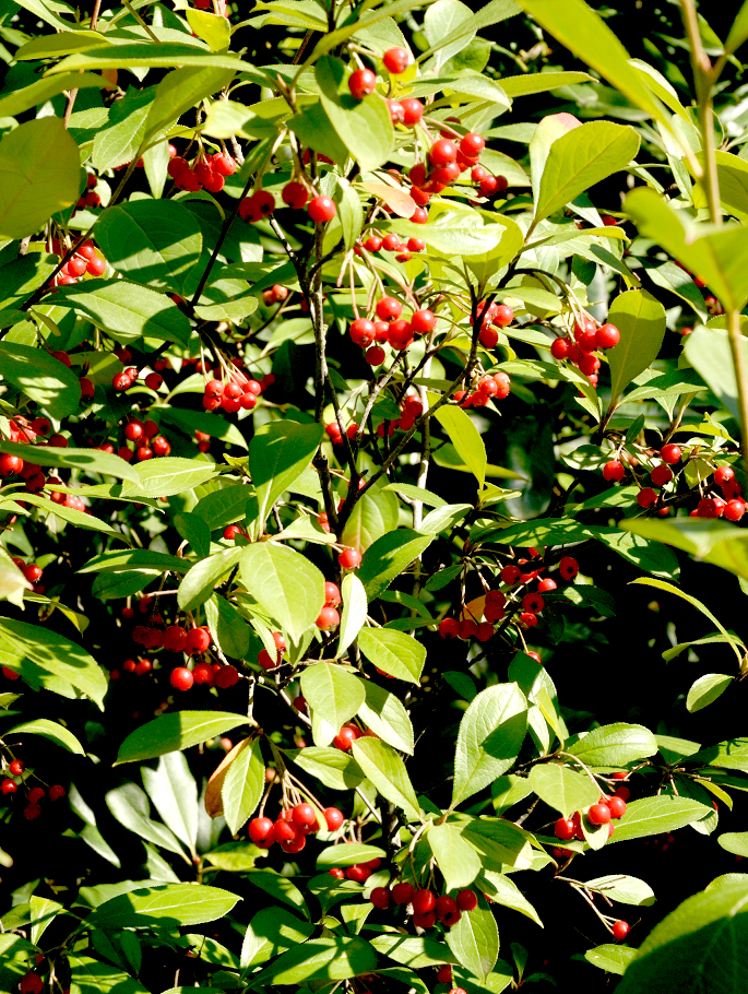 Aronia planter et tailler ooreka for Plante feuille rouge
