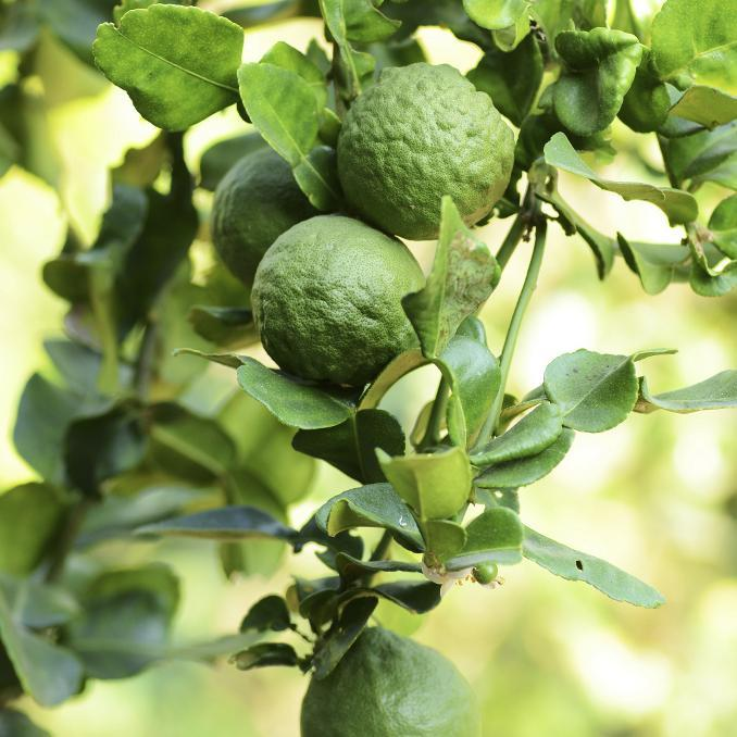 Citrus bergamia 'Femminello' dit «femelle»