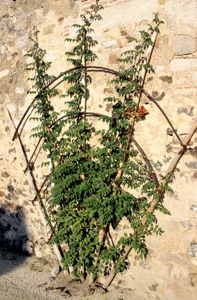 plante grimpante bignone en pot