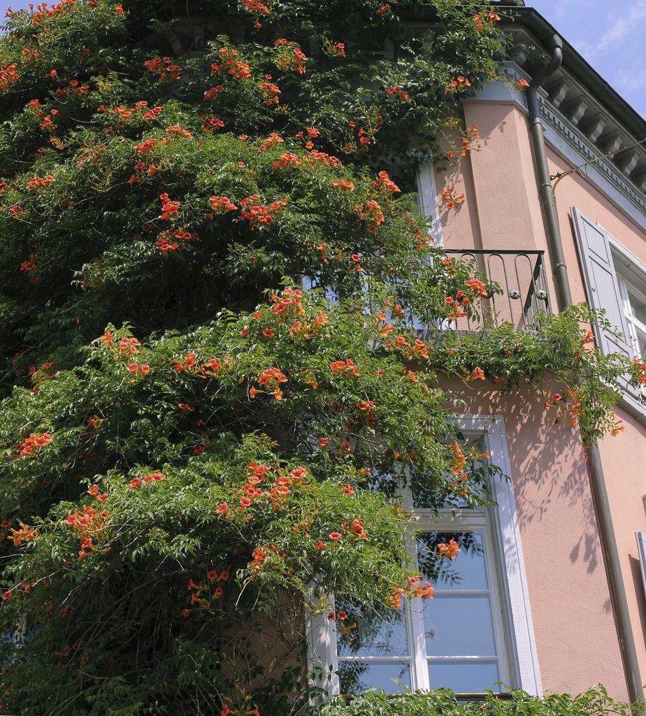 bignone : planter et bouturer – ooreka