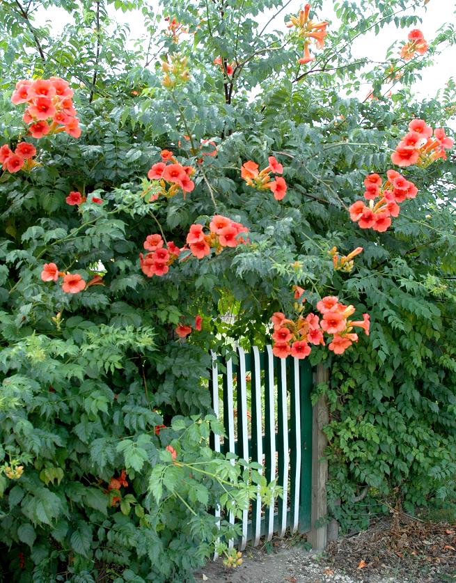 Bignone planter et bouturer ooreka for Ou trouver de belles plantes artificielles