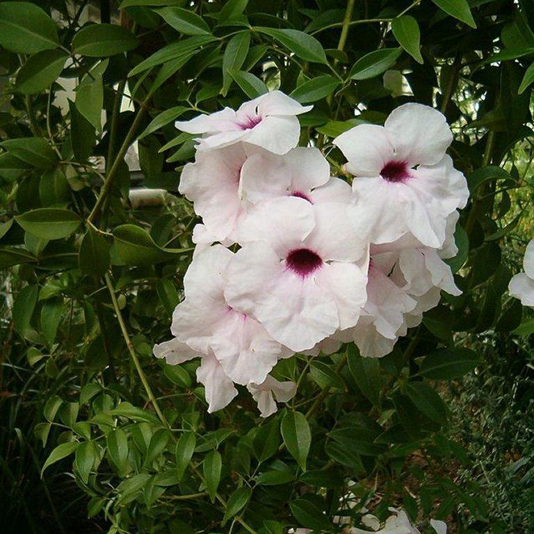 Pandorea jasminoïdes