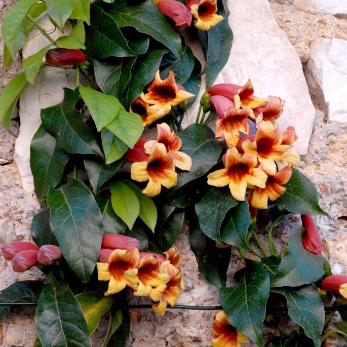 Bignonia capreolata (syn. Doxantha capreolata) Bignone à vrilles