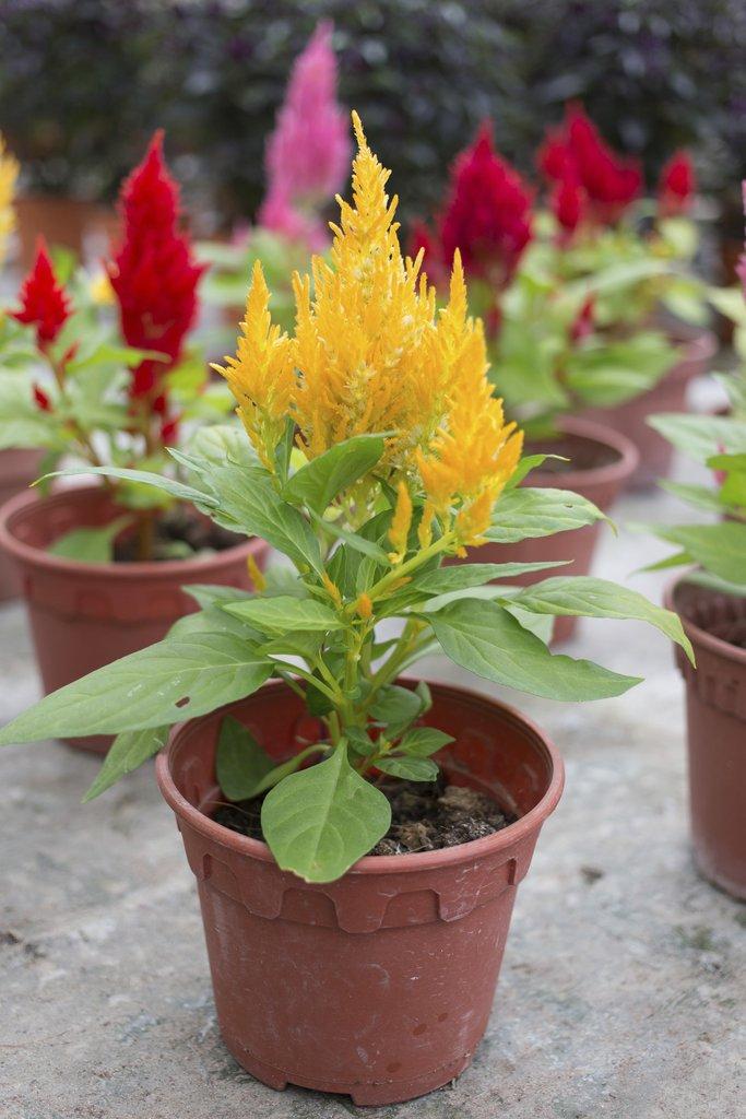 Celosia Plumosa 25 Graines Celosia jaune
