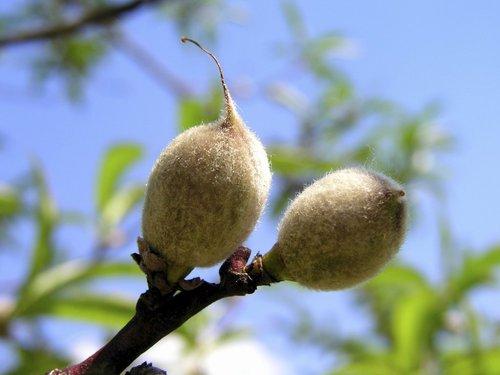 Abricotier planter et tailler comprendrechoisir - Planter un noyau d abricot ...