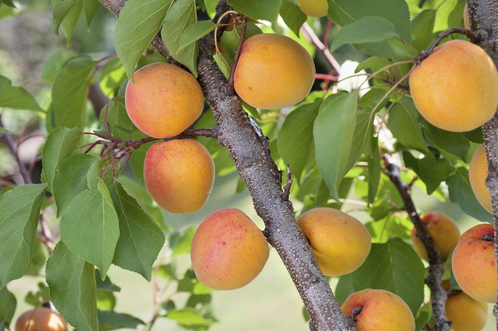 Abricotier planter et tailler ooreka for La taille de l abricotier