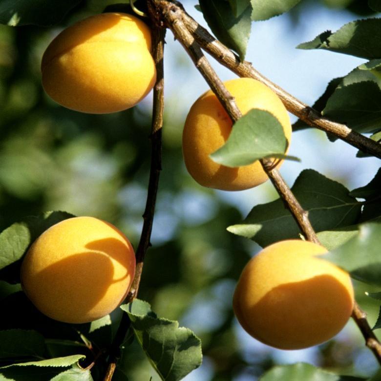 Abricotier planter et tailler ooreka for Taille des abricotiers bergeron