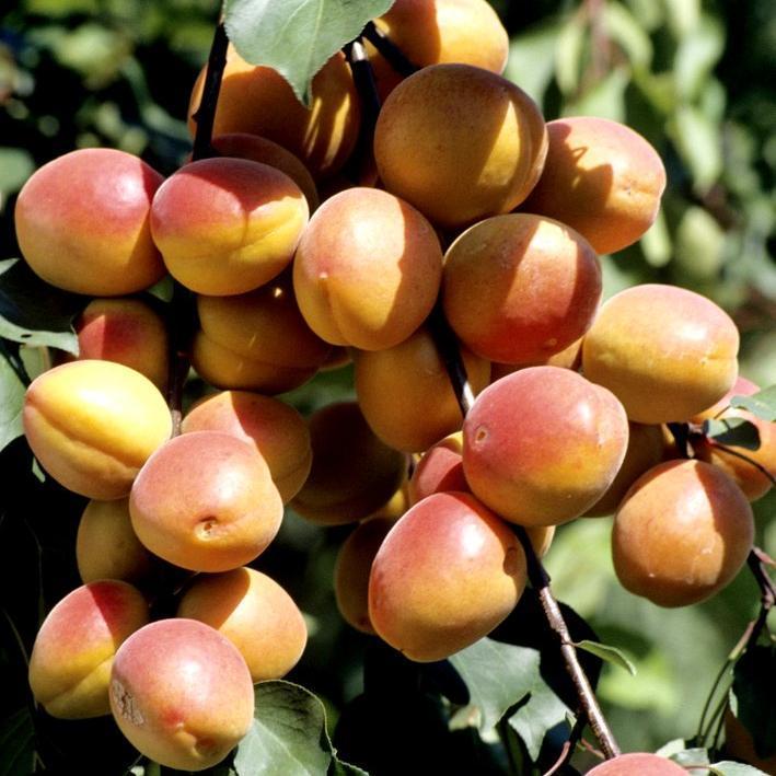Variétés à floraison tardive 'Polonais' ou 'Orangé de Provence'