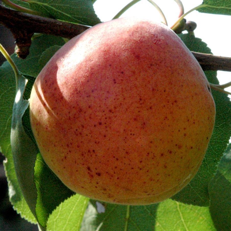 Variétés à floraison tardive 'Ampuis' ou 'Abricot de Hollande'