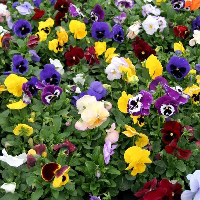Pensée des jardins (Viola x wittrockiana) Nombreux hybrides disponibles