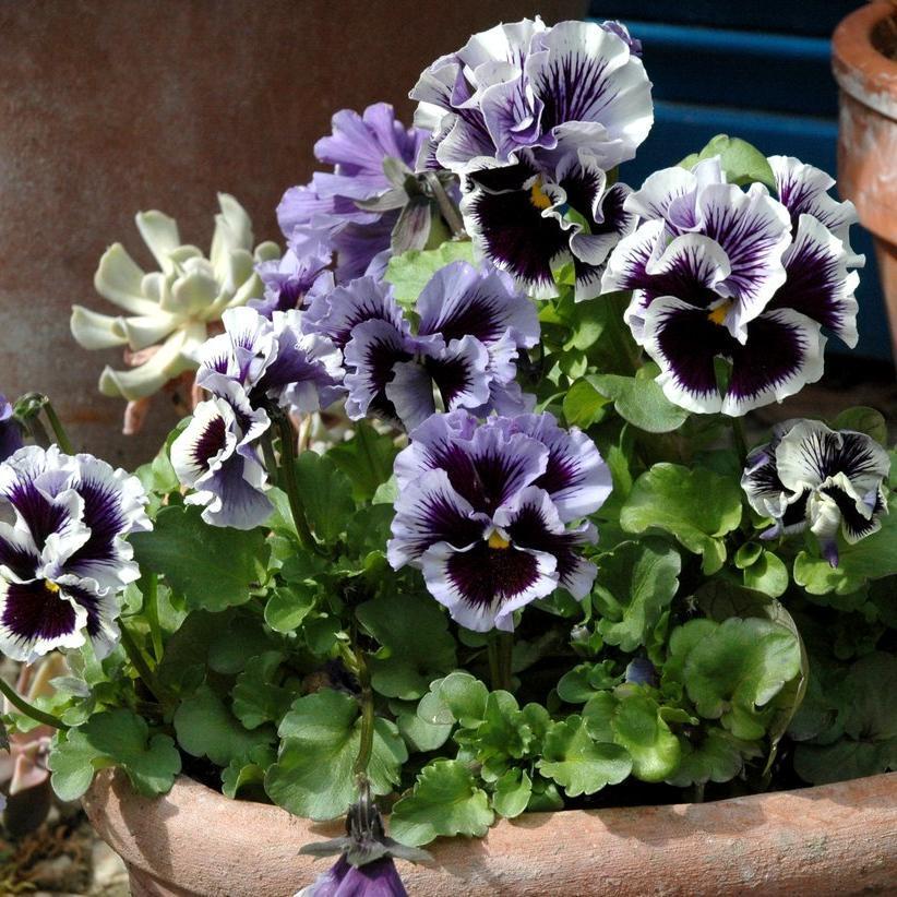 Pensée des jardins (Viola x wittrockiana) Frizzle