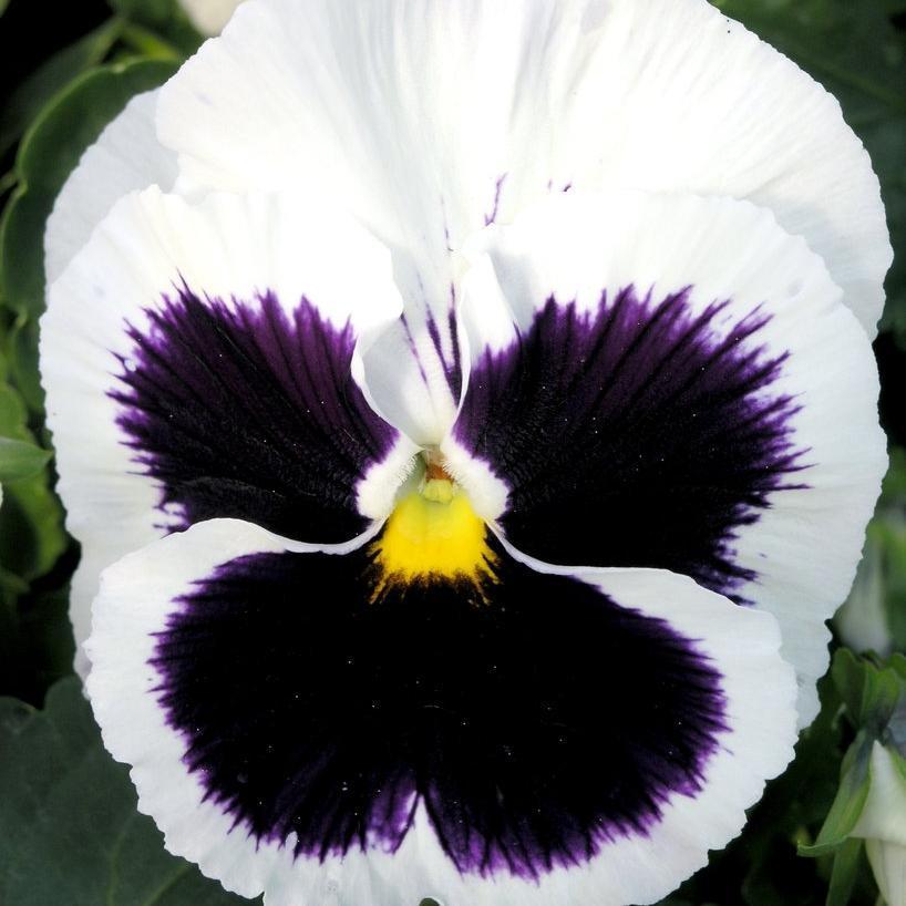 Pensée des jardins (Viola x wittrockiana) Géante de Suisse