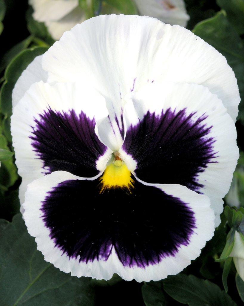 Hornveilchen pflanzen pflegen und vermehren  Mein