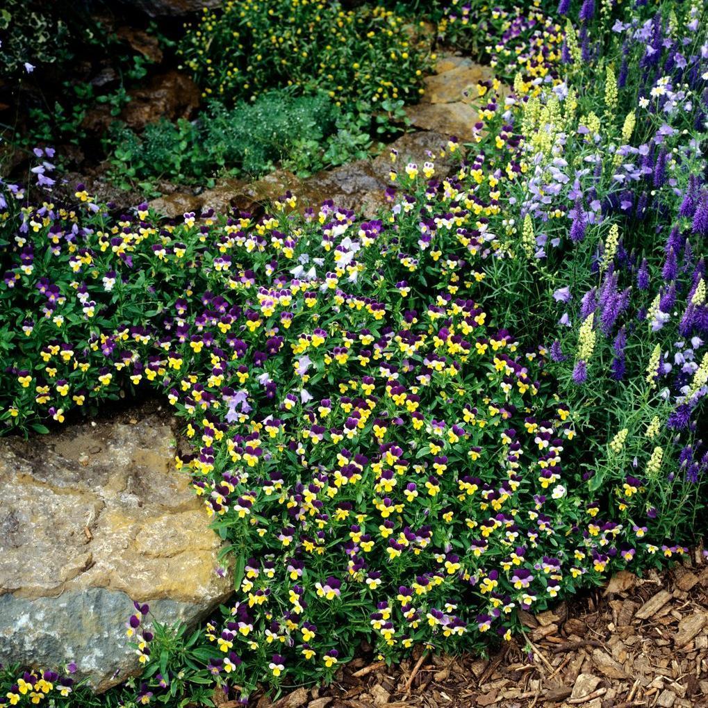 Pensée sauvage ou tricolore (Viola tricolor)