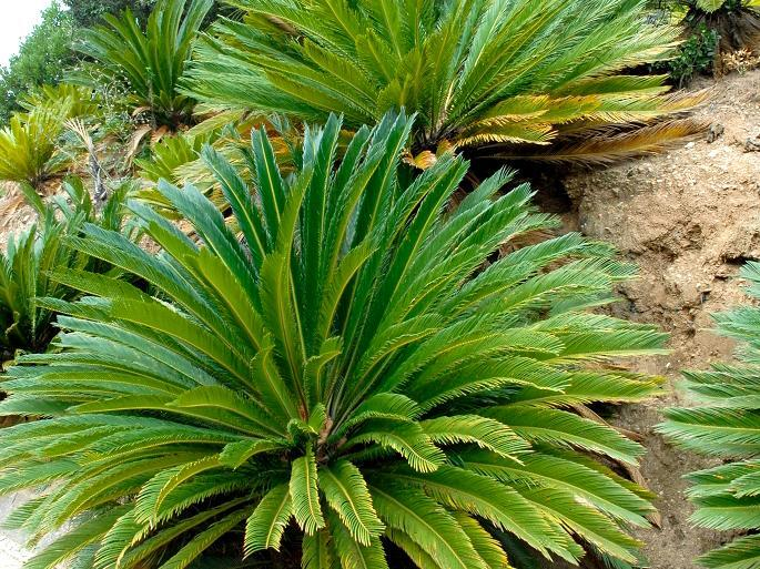 Cycas Planter Et Rempoter Ooreka