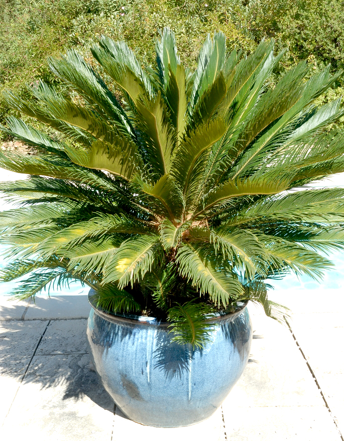 Cycas planter et rempoter ooreka for Maladie palmier interieur