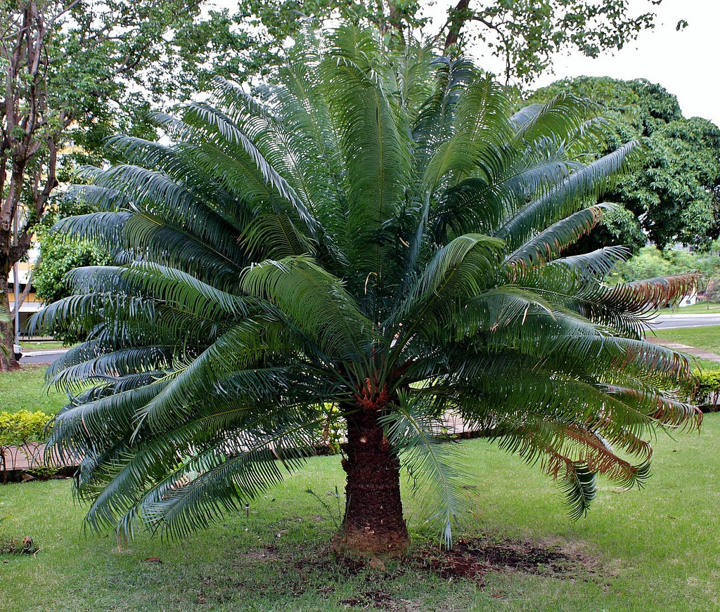 Cycas planter et rempoter ooreka for Plante exotique exterieur