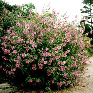 Lavat re planter et tailler ooreka - Quelles sont les plantes que l on peut bouturer ...