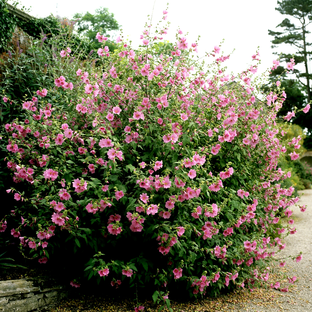 Lavat re planter et tailler ooreka for Plante arbustive fleurie